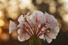 Pelargoniablomma på gryning arkivfoto