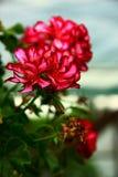 pelargoniapeltatum Royaltyfria Foton