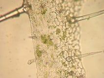 Pelargoniazonale - optisk mikroskopi Arkivbilder