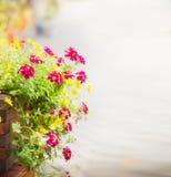 Pelargonie blüht auf dem Blumenbeet im Straßenpflasterungshintergrund, ausgewählter Fokus, Unschärfe Lizenzfreie Stockbilder