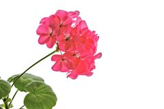 Pelargonie-Blume getrennt auf Weiß Lizenzfreies Stockbild