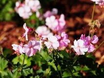 Pelargonie cantabrigiense ` Biokovo-` lizenzfreie stockbilder