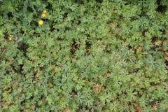 Pelargonie carolinianum Lizenzfreies Stockbild