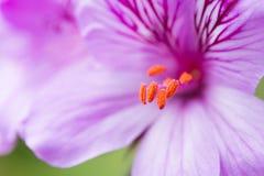 Pelargonie Cucullatums-Blume in der Blüte stockfotos