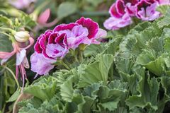 Pelargonie in der Blüte im Garten lizenzfreie stockbilder