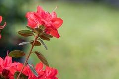 Pelargonie in der Bl?te im Garten stockfoto