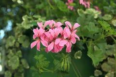 Pelargonie graveolens Anlage mit rosa Blumen lizenzfreie stockbilder