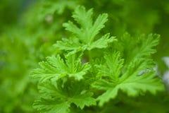 Pelargonie graveolens Zitronengras, grüne Blätter der Pelargonie Stockbild
