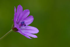Pelargonie molle Stockfotos