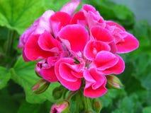 Pelargonie peltatum Efeupelargonie Gartensommerblume im Freien mit rosa Blüte und vibrierenden grünen Blättern stockbilder