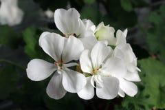 Pelargonie welches Vergnügen an der Natur Lizenzfreie Stockfotografie