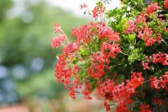 Pelargonieblume, die im Garten hängt Lizenzfreie Stockbilder