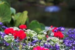 Pelargonien arbeiten Bokeh-Hintergrund-Kopien-Raum im Garten stockfotos