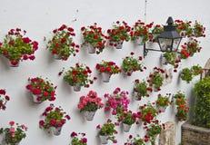 Pelargonien auf der Wand Stockfoto