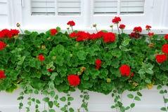 Pelargonien auf Fenster Lizenzfreies Stockbild