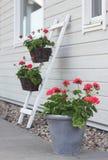 Pelargonien-Blumen Lizenzfreie Stockfotos