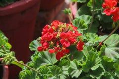 Pelargonien-Blumen-Wesentliches stockfotos