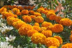 Pelargonien-Blumen-Wesentliches Lizenzfreie Stockfotos