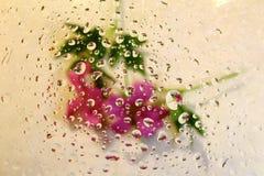 Pelargonien durch Wassertropfen Stockbilder