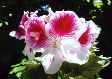Pelargonien-Engelsaugen zweifarbig stockbild