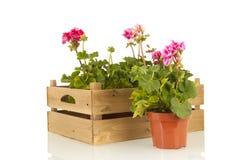 Pelargonien für den Garten stockfotografie
