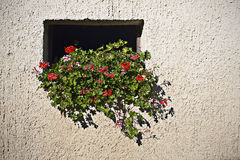 Pelargonien im Stallfenster Lizenzfreie Stockfotos