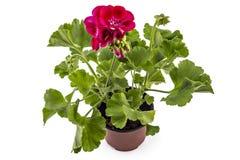 Pelargonien-Pelargonie Lizenzfreies Stockfoto