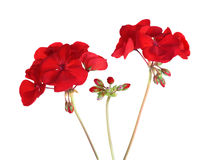 Pelargonien-Pelargonien-Blumen Lizenzfreie Stockbilder