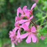 Pelargonien rosa Fotografia Stock