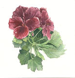 Pelargonienblüte Stockbild