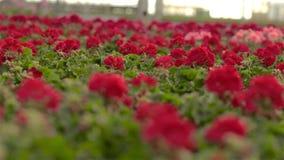 Pelargonienbl?tennahaufnahme Blühende Blumen in einem großen modernen Gewächshaus Bl?hende Pelargonien in den T?pfen Viel Bl?hen stock footage