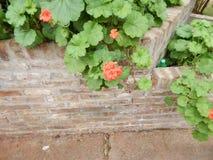 Pelargonienblume Lizenzfreie Stockbilder