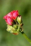 Pelargonienblume und -knospen stockbild