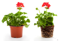 Pelargonienblumen Lizenzfreies Stockfoto