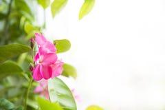 Pelargonienblumen Lizenzfreie Stockbilder
