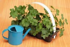 Pelargoniesämlinge bereiteten sich für das Pflanzen vor Lizenzfreie Stockfotografie