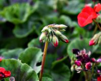 Pelargonium obraz stock