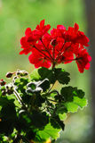 Pelargonium Stock Photo