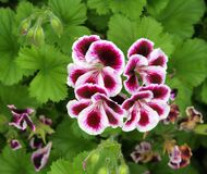Pelargonium Royalty Free Stock Photography