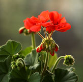 pelargonium Obrazy Stock