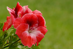 Pelargonium 2 Stock Images