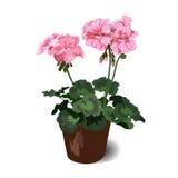 Pelargonium Fotografia Stock Libera da Diritti