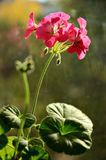 Pelargonium Royalty Free Stock Photos