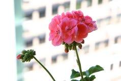 Pelargonium Fotografie Stock Libere da Diritti