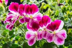 Pelargonium Fotografia Stock