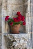 Pelargonium Obraz Royalty Free