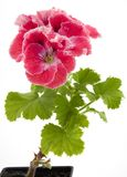 Pelargonium Stock Image