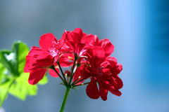 pelargonium Obraz Royalty Free