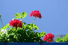 Pelargonium Stock Photography