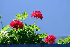 Pelargonium fotografia de stock